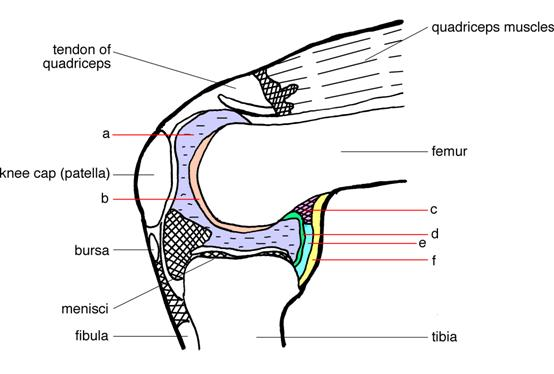 Synovial Joint Activity